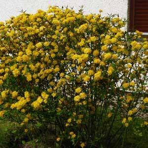 Corete-du-Japon-Kerria-japonica-4