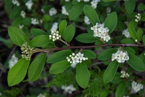 Cotoneaster_salicifolia-willlow_leaved cotoneaster