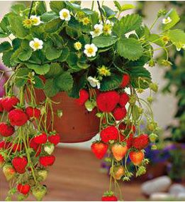 Fragaria, strawberry (1)