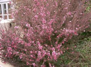 Leptospermum_scoparium1