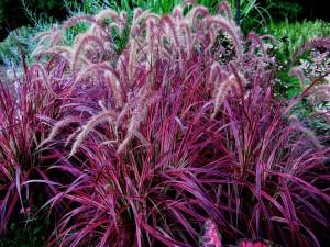 Pennisetum-setaceum-Fireworks