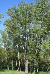 Populus_nigra