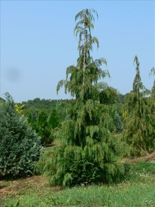 chamaecyparis_-lawsoniana_pendula-3x-400_425_cm