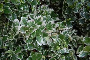 euonymus-fortunei-emerald-gaiety-detail