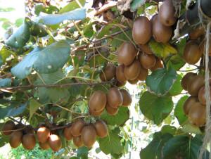 frutti-in-pianta