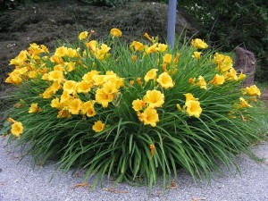 hemerocallis-stella-de-oro-yellow-daylilly-234-p
