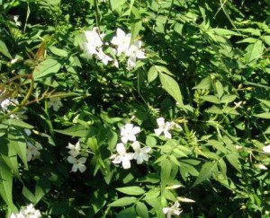jasminum-officinale