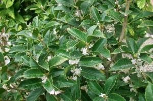 osmanthus_aquifolium