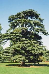 CEDRU LIBANO